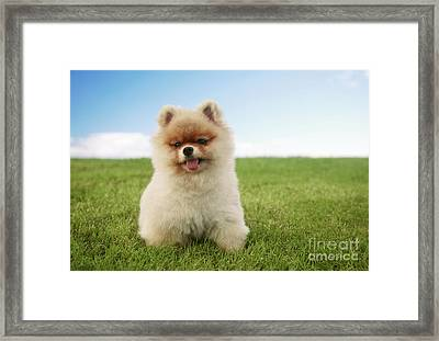 Pomeranian Puppy On Grass Framed Print by Brandon Tabiolo - Printscapes
