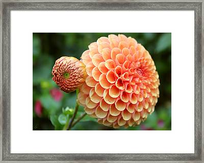 Framed Print featuring the photograph Pompom by Margaret Hormann Bfa
