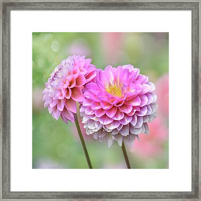 Framed Print featuring the photograph Pompon Dahlias by John Poon