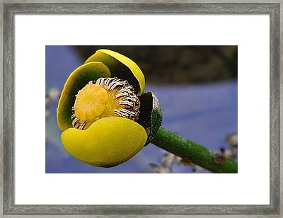 Pond Lily In Bloom Framed Print