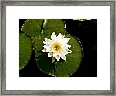 Pond Lily Framed Print