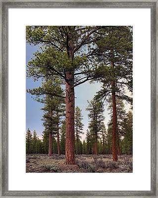 Ponderosa Forest Framed Print by Leland D Howard