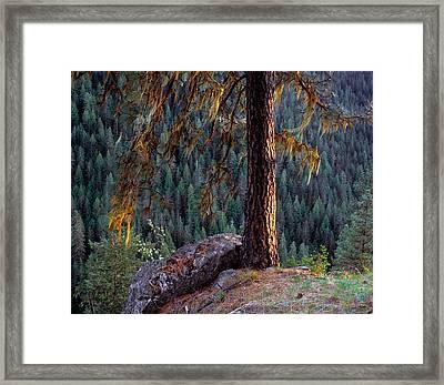 Ponderosa Pine Framed Print by Leland D Howard