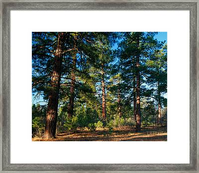 Ponderosa Pine Tree Forest, Kaibab Framed Print by Panoramic Images