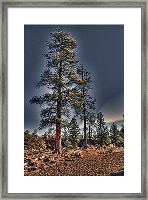 Ponderosa Pines At The Bonito Lava Flow Framed Print