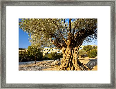 Pont Du Gard Olive Tree Framed Print by Brian Jannsen