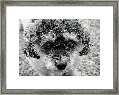 Poodle Eyes Framed Print