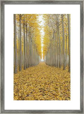 Poplar Tree Farm One Foggy Morning In Fall Season Framed Print