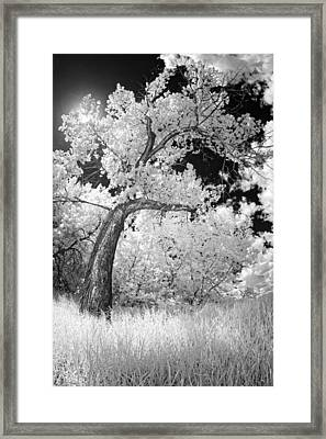 Poplars Under The Sun Framed Print by Dan Jurak