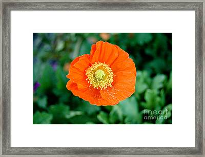Poppie Framed Print by Maureen Norcross