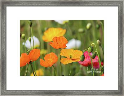 Framed Print featuring the photograph  Poppies 1 by Werner Padarin