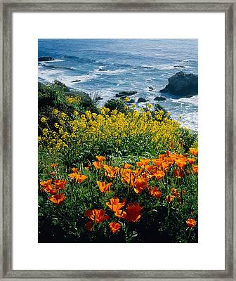 Poppies Along Coast Ca Usa Framed Print by Panoramic Images