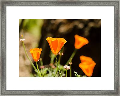 Poppies Along The Road Framed Print