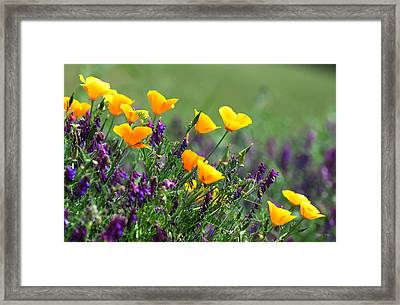 Poppies And Purple Vetch Framed Print by Kathy Yates
