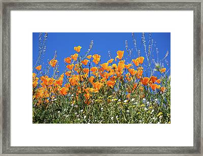 Framed Print featuring the photograph Poppies From Below by Cliff Wassmann