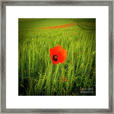 Poppies In A Field Of Wheat. Auvergne. France Framed Print