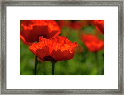 Poppies In A Meadow Framed Print