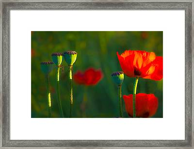 Poppies In Evening Light Framed Print by Joan Herwig