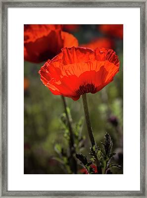 Poppies In The Morning Sun Framed Print