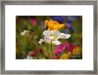Poppies In The Spring Framed Print by Deb Halloran