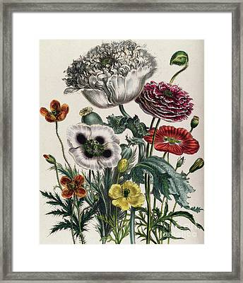 Poppies Framed Print by Jane Loudon