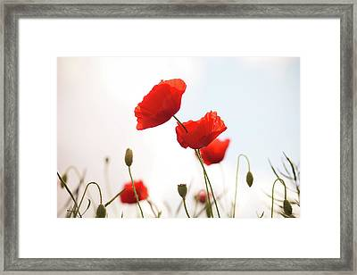 Poppies Framed Print by Olivia Bell Photography