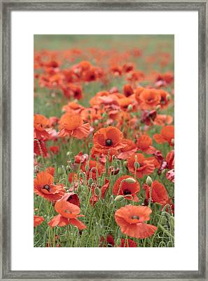Poppies Framed Print by Phil Crean