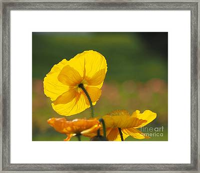 Poppies Seeking The Light Framed Print