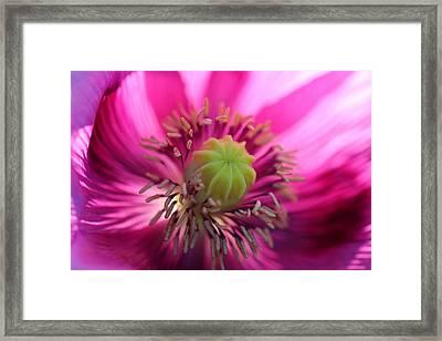 Poppy 4 Framed Print