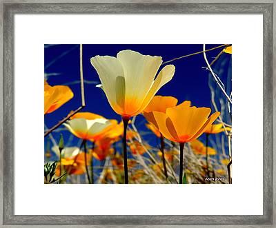 Poppy Framed Print by Adam Jones