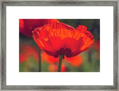 Poppy Beauty Framed Print
