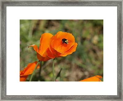 Poppy Beeing Admired Framed Print by Laura Allenby