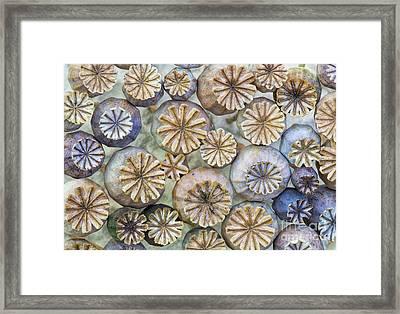 Poppy Capsules  Framed Print by Tim Gainey