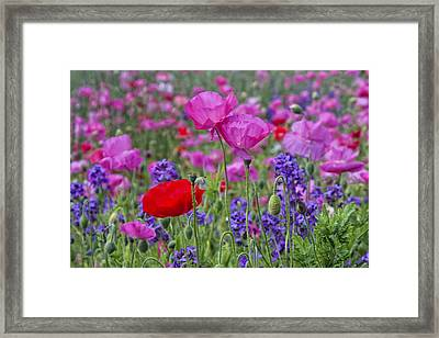Framed Print featuring the photograph Poppy Field by Ken Barrett
