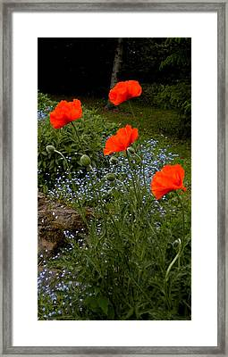 Poppy Foursome Framed Print