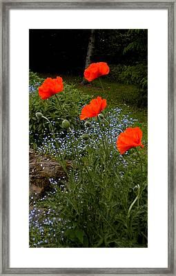 Poppy Foursome Framed Print