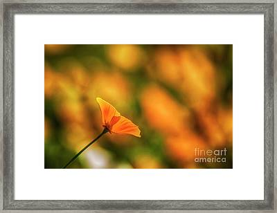 Poppy Glow Framed Print