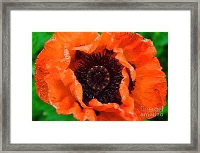 Poppy Happening Framed Print by Diane E Berry
