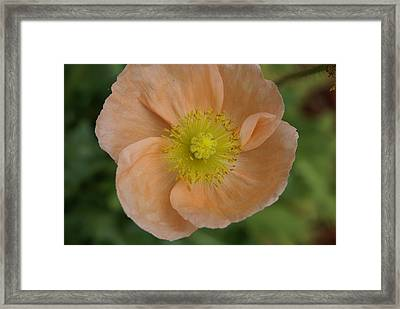 Framed Print featuring the photograph Poppy by Heidi Poulin