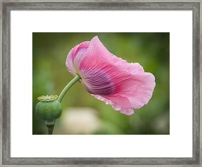 Poppy In The Wind Framed Print