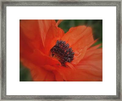Poppy Love Framed Print by Martin Morehead