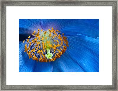 Poppy Framed Print by Margaret Barry
