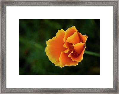 Poppy Orange Framed Print