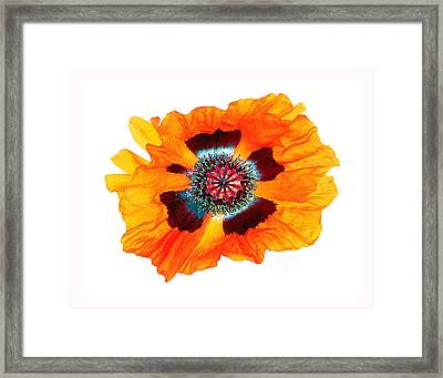 Poppy Pleasing Framed Print
