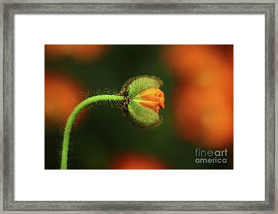 Poppy Ready To Burst Framed Print
