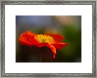 Poppy Resplendent Framed Print by Mike Reid