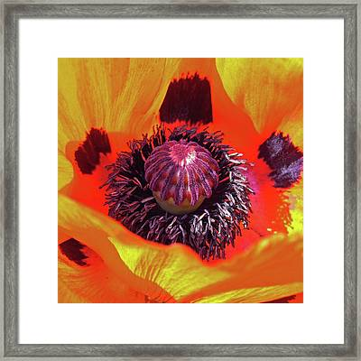 Poppy Framed Print by Robert Shard