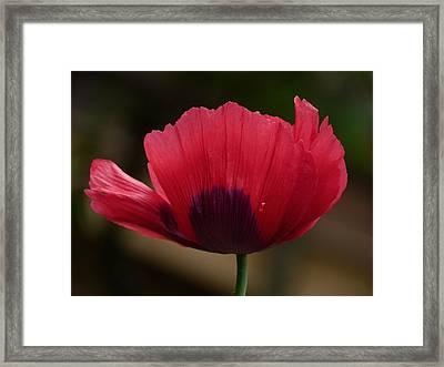 Poppy Framed Print by Shannon Gresham