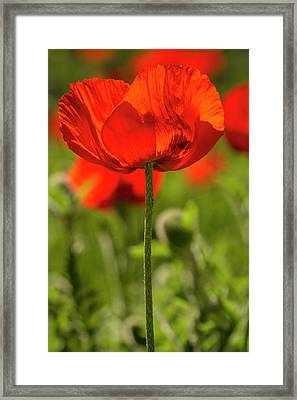 Poppy Stem Framed Print