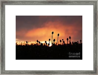 Poppy Sunrise Framed Print